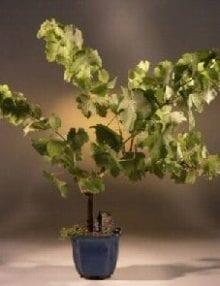 Seedless Grape Bonsai Tree For Sale
