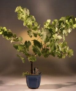Seedless Grape Bonsai Tree For Sale