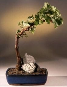 Wine Grape Bonsai Bonsai Tree For Sale Tempranillo - Red