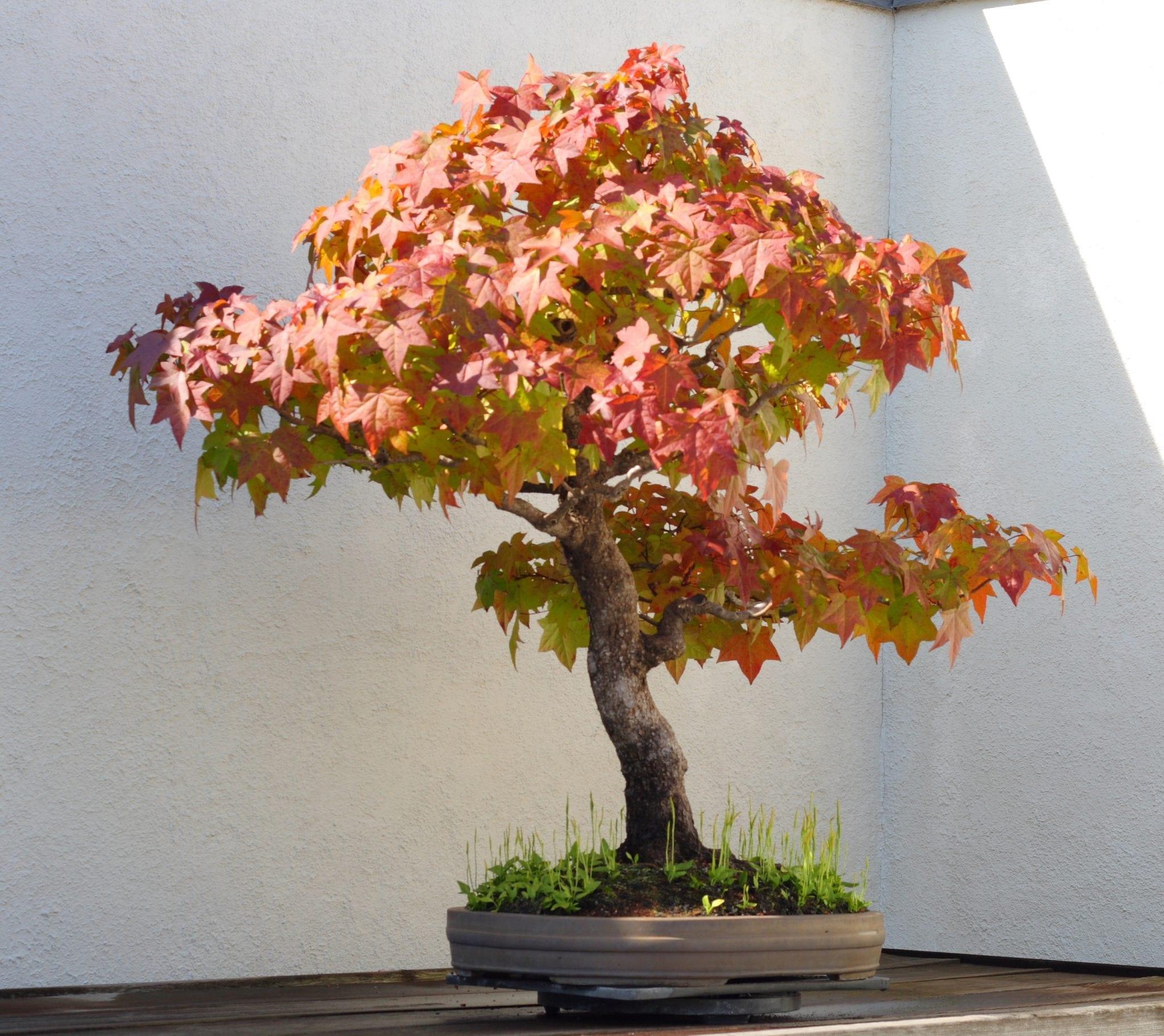 Liquidambar Bonsai Tree