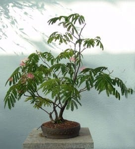Mimosa Bonsai Tree