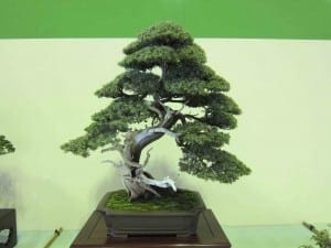 Needle Juniper Bonsai Tree