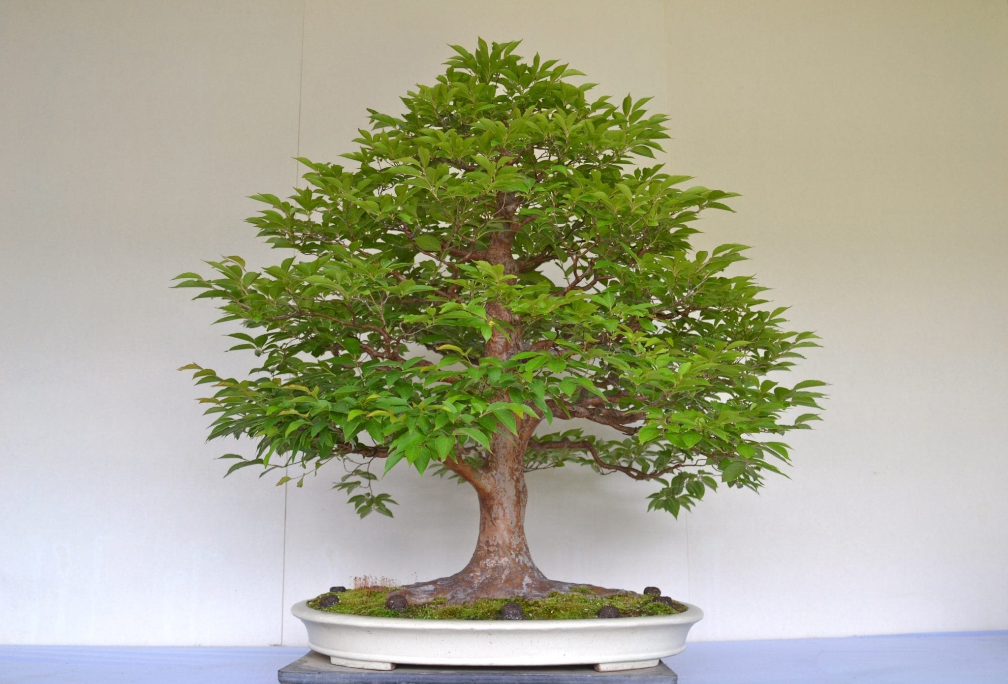 Oak Bonsai Tree Care Guide Quercus Gardener Wiring Chinese Elm