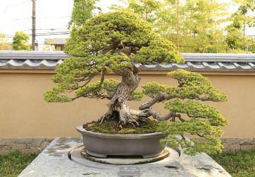 Outdoor Bonsai Tree Care