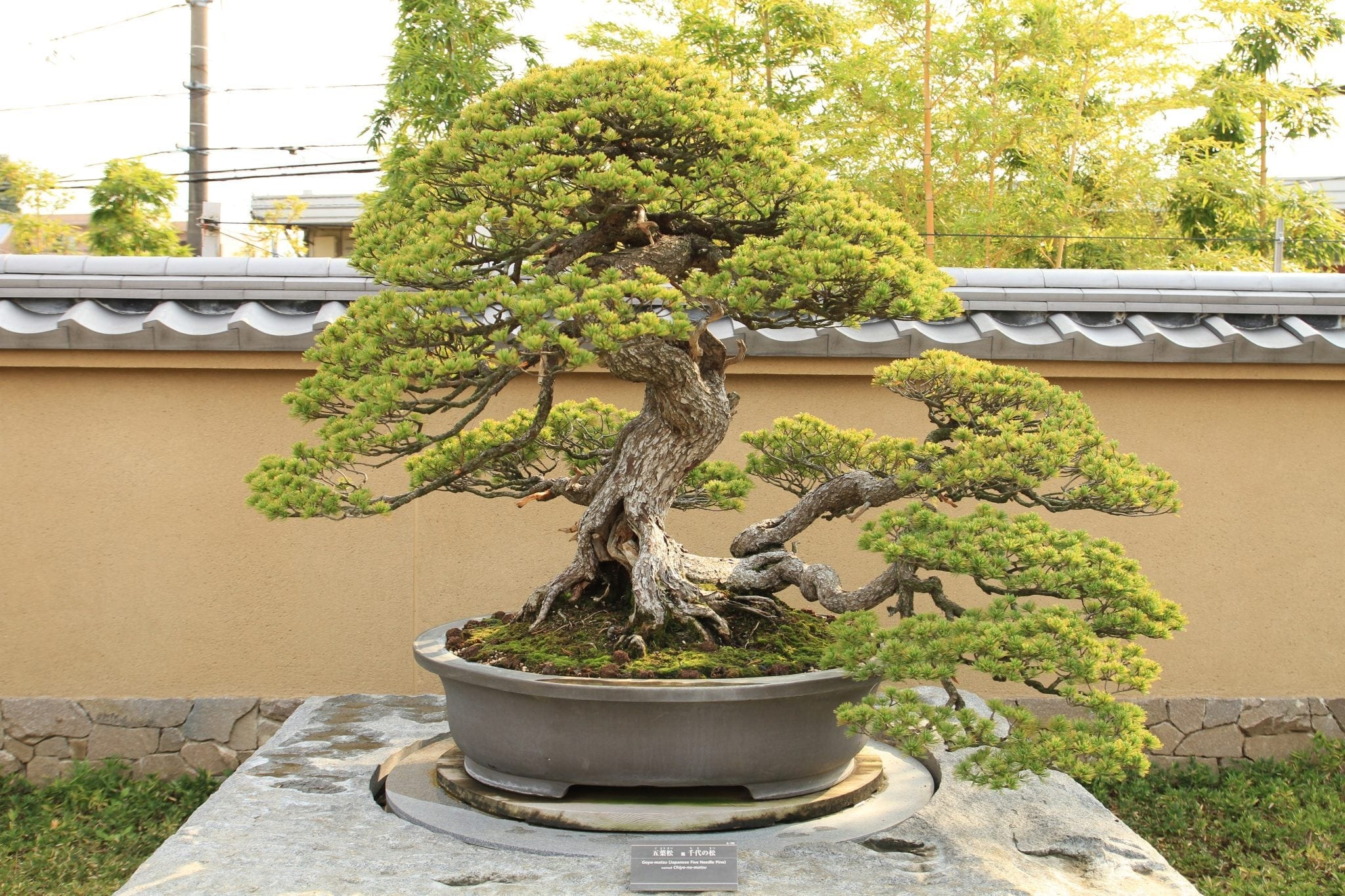 How To Care For Outdoor Bonsai Trees Bonsai Tree Gardener