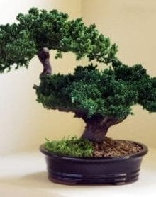 Monterey - Double Trunk-Preserved Bonsai Tree For Sale (Preserved - Not a living tree)