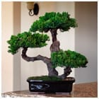 Monterey - Triple Trunk-Preserved Bonsai Tree For Sale (Preserved - Not a living tree)