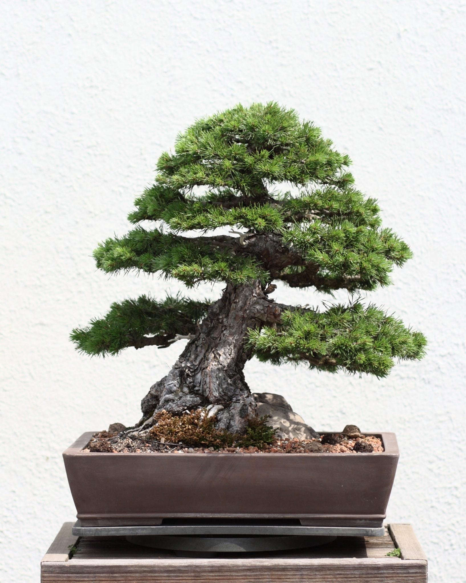 pine bonsai trees bought bonsai tree
