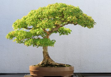 Popular Bonsai Trees