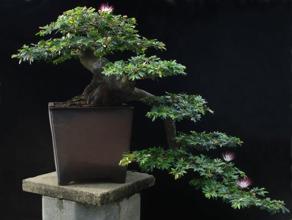 Powder Puff Bonsai Tree