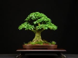 Privet Bonsai Tree