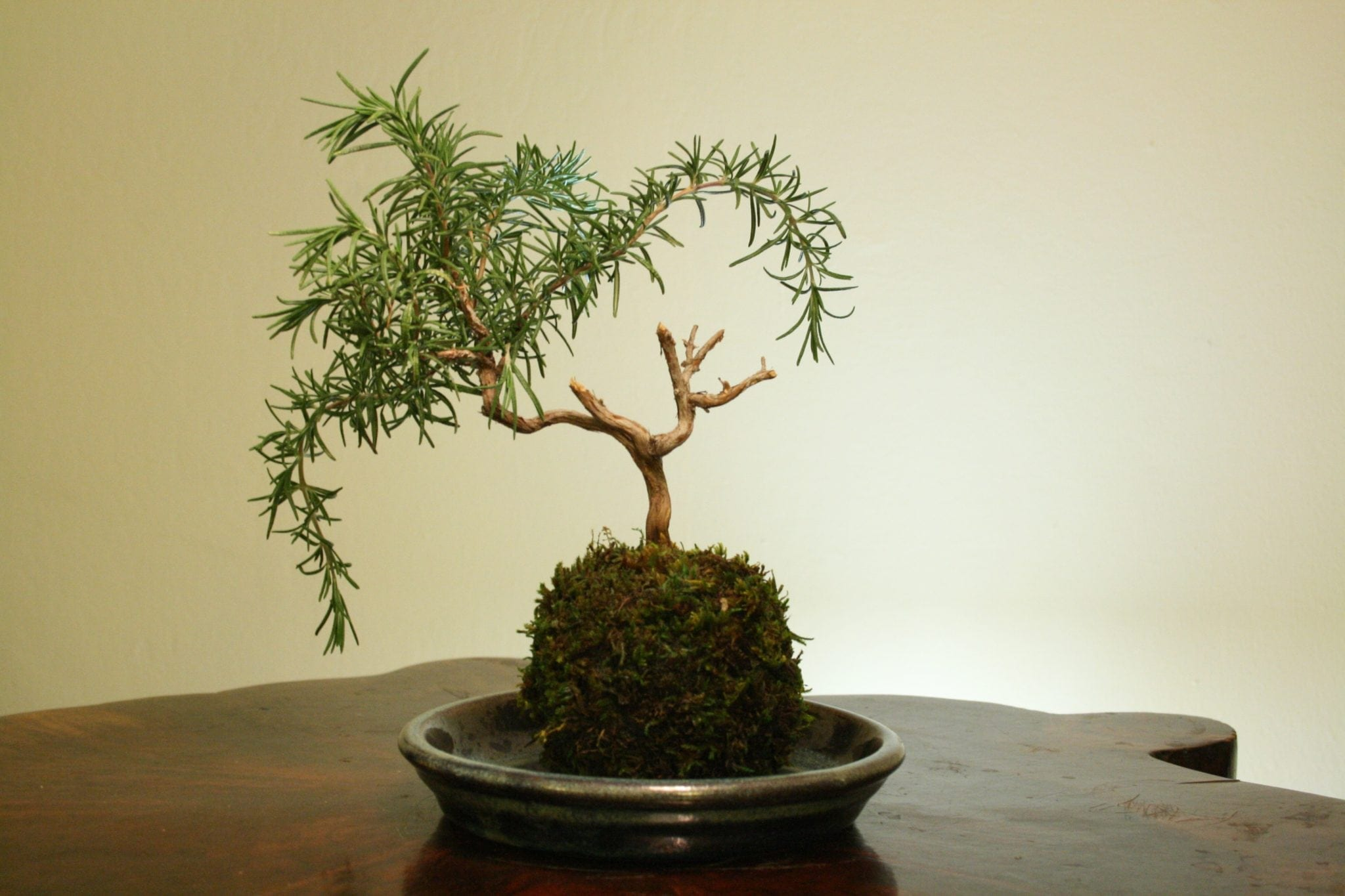 Rosemary Bonsai Tree