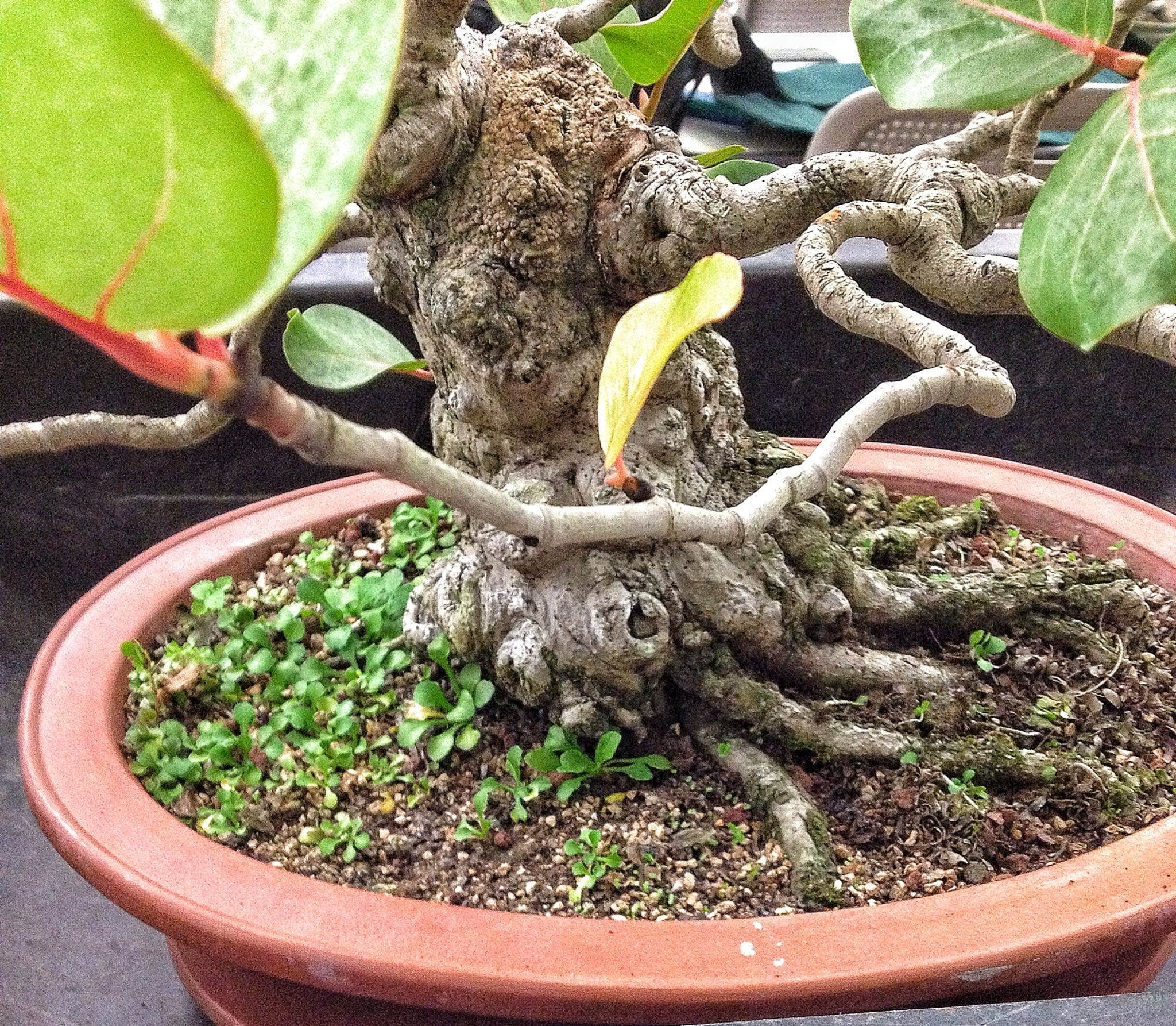 Sea Grape Bonsai Tree