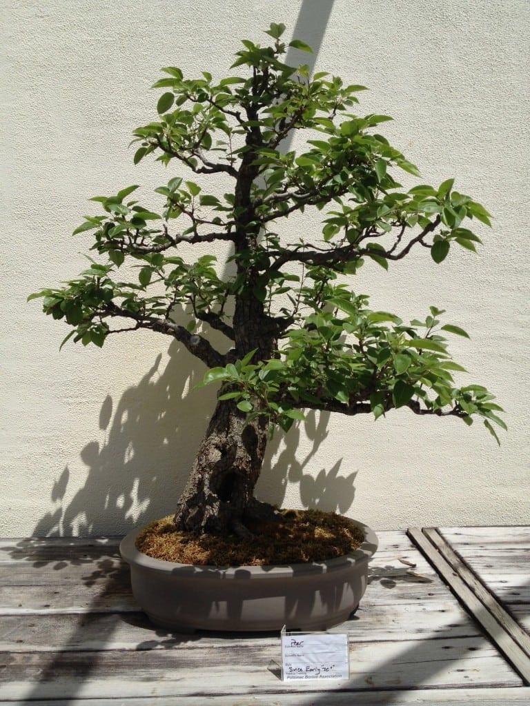 Serissa Bonsai Tree