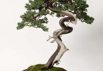 Physiology of Shaping Bonsai Trees