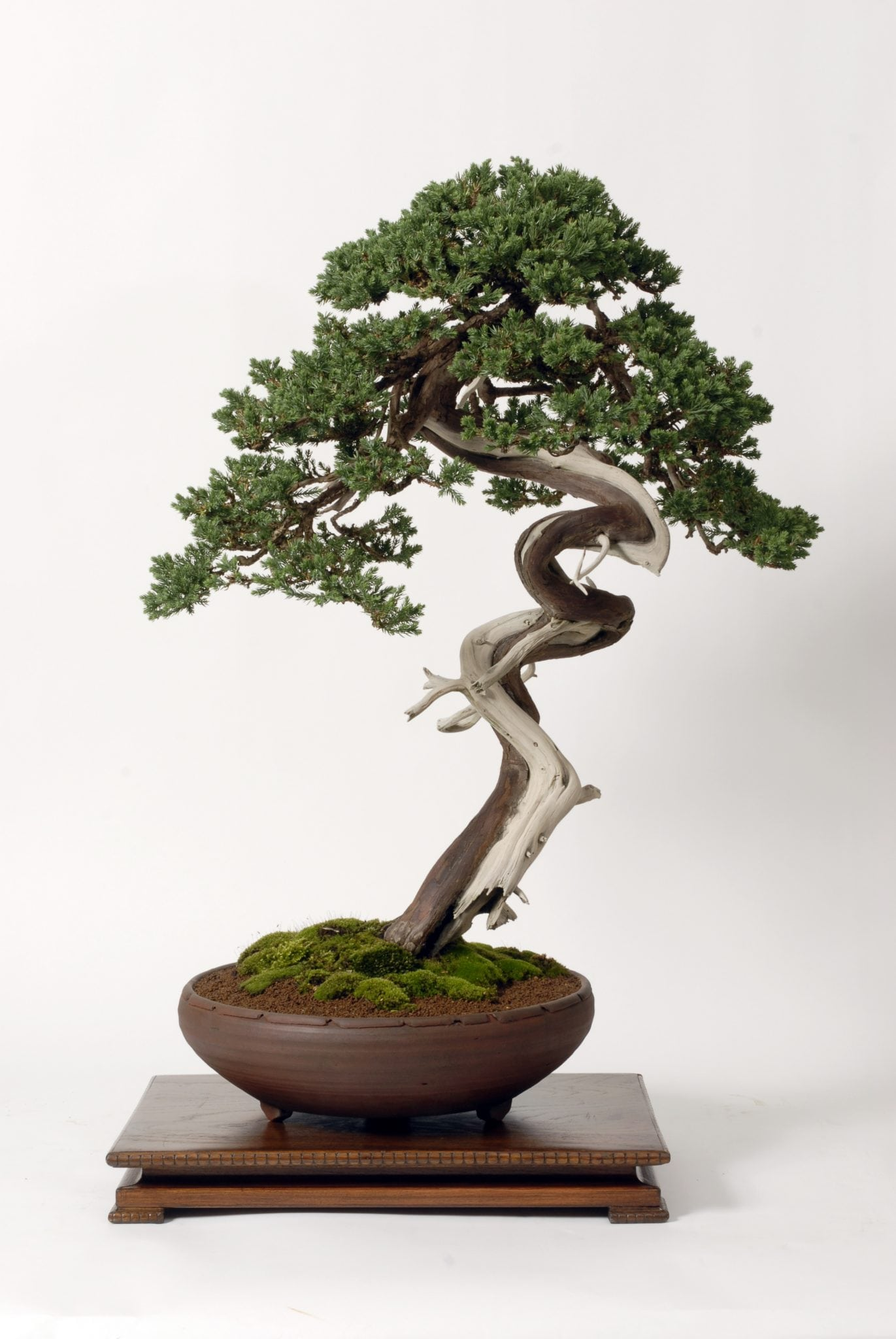 physiology of shaping bonsai trees bonsai tree
