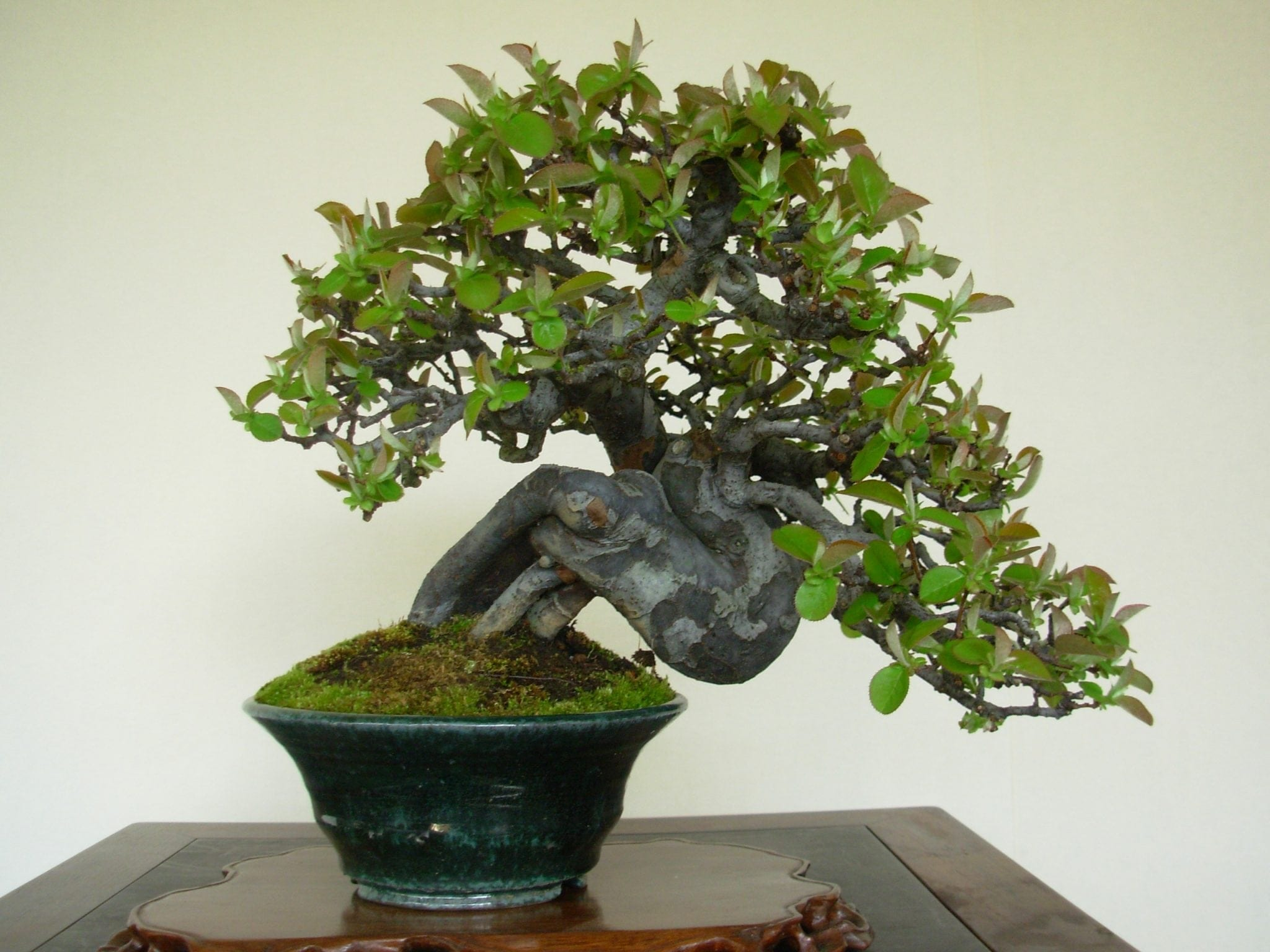 shohin bonsai trees bonsai tree