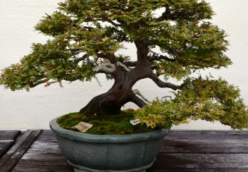 Trained Bonsai Tree