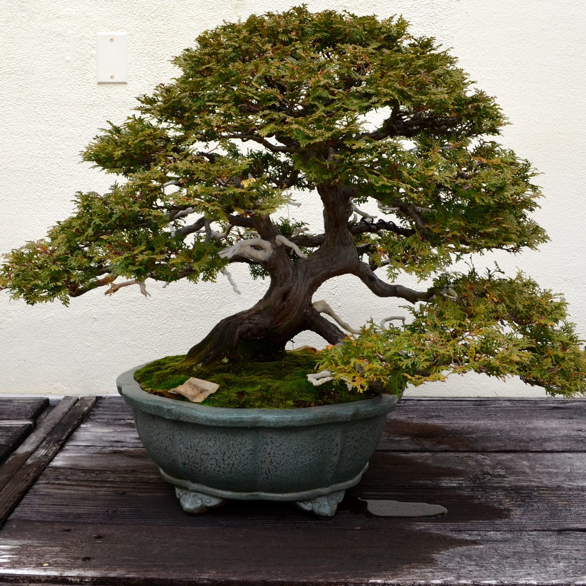 Trained Bonsai Tree