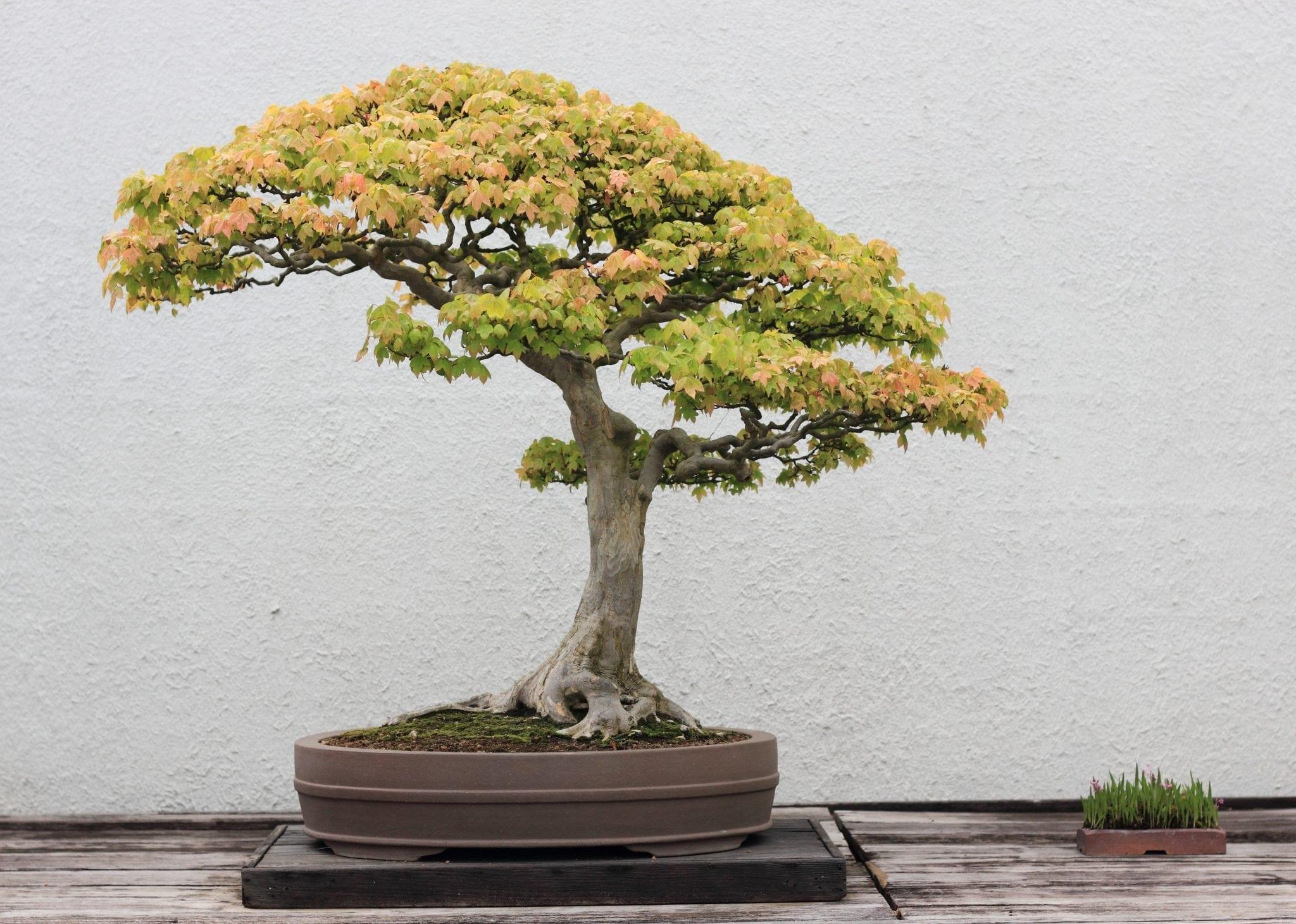 Superb Trident Maple Bonsai Tree Care Guide Acer Buergerianum Bonsai Wiring Digital Resources Dylitashwinbiharinl