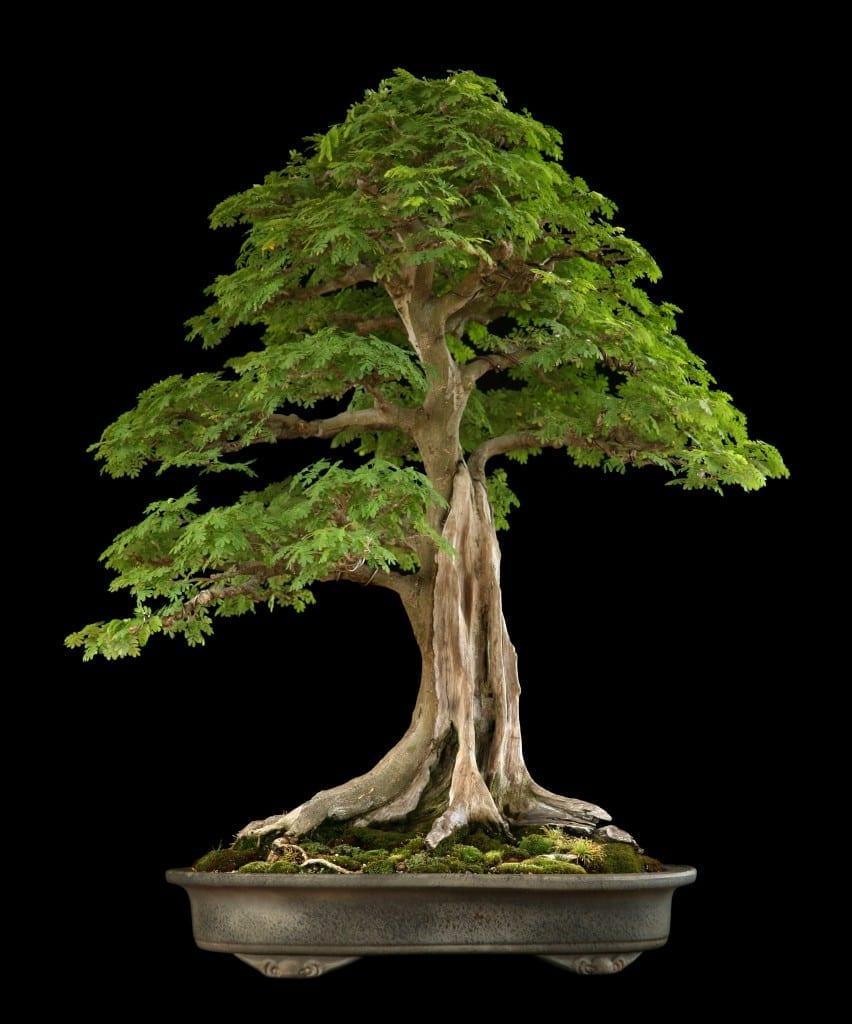 Tropical Bonsai Trees Bonsai Tree Gardener
