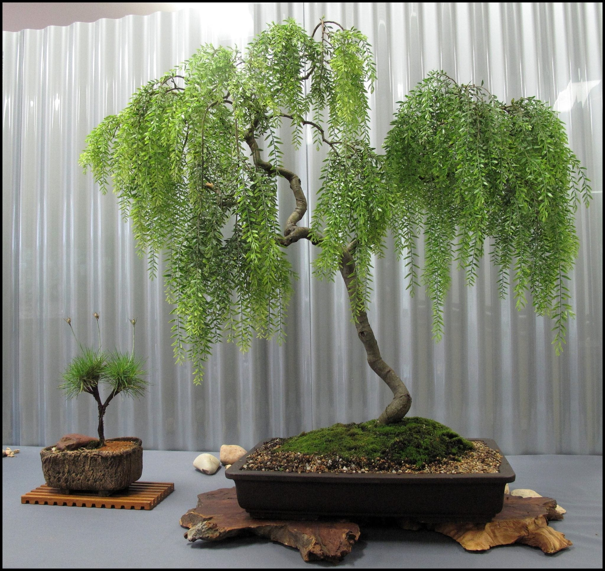 Weeping willow bonsai trees - Bonsai zimmerpflanze ...
