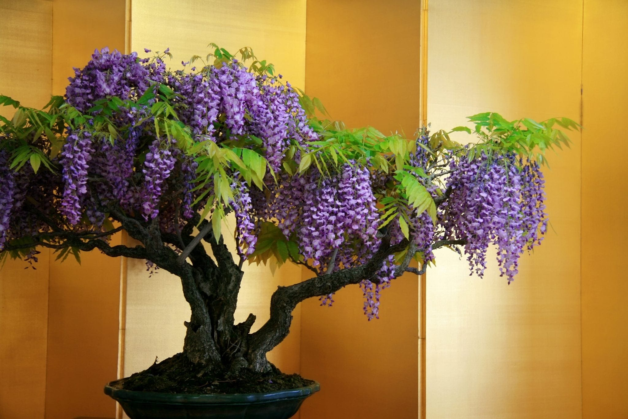 Wisteria Bonsai Tree Care Guide Wisteria Sp Bonsai Tree Gardener