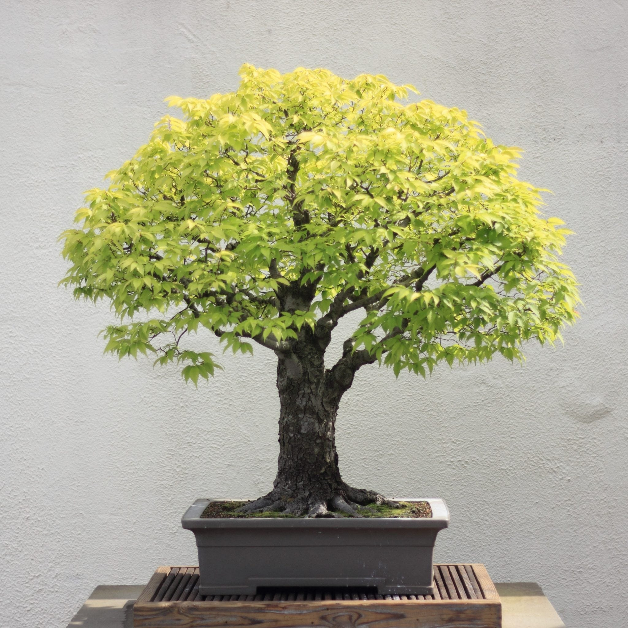 zelkova bonsai trees bought bonsai tree