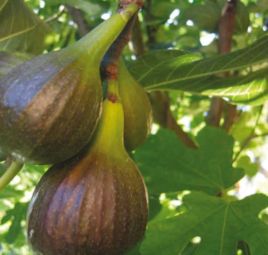 brown-turkey-fig-ficus-carica-01
