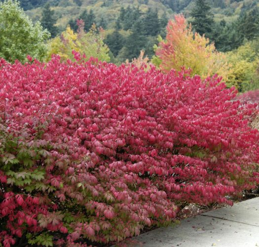 burning-bush-euonymous-little-moses-01