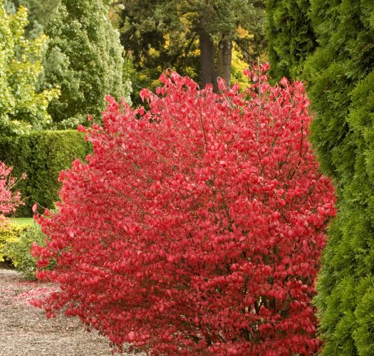 burning-bush-euonymous-little-moses-02