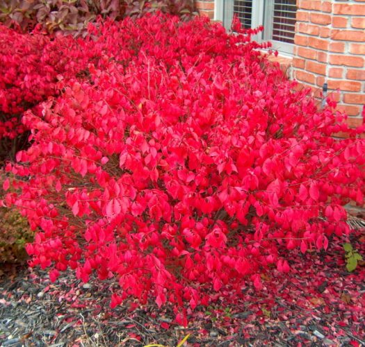 burning-bush-euonymous-little-moses-08