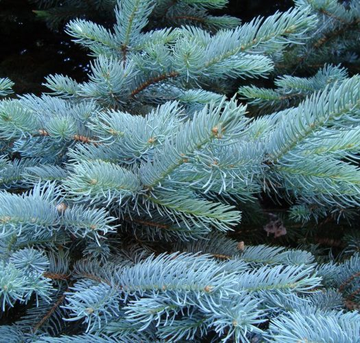 colorado-blue-spruce-picea-pungens-01