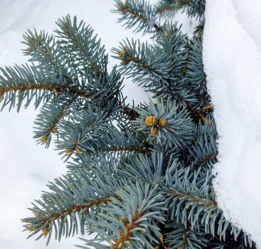 colorado-blue-spruce-picea-pungens-02