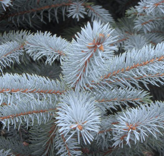 colorado-blue-spruce-picea-pungens-03