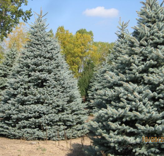 colorado-blue-spruce-picea-pungens-04