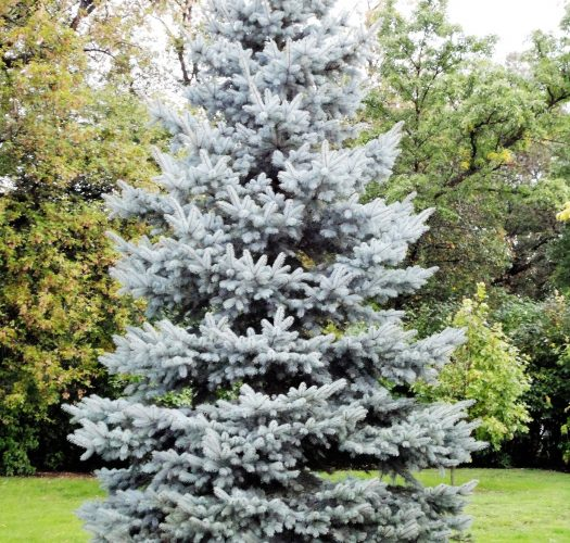 colorado-blue-spruce-picea-pungens-05