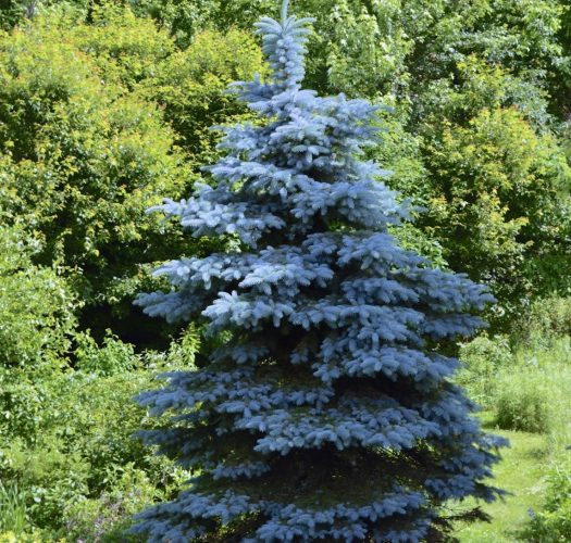 colorado-blue-spruce-picea-pungens-06
