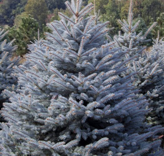 colorado-blue-spruce-picea-pungens-07