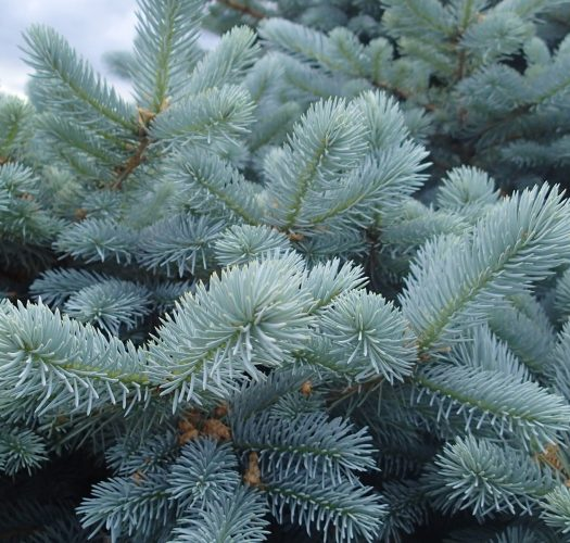 colorado-blue-spruce-picea-pungens-08