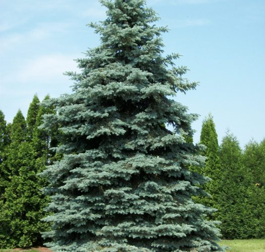 colorado-blue-spruce-picea-pungens-09
