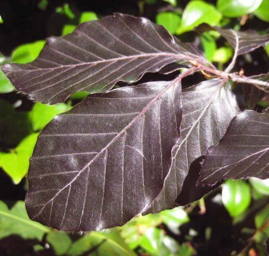 copper-beech-fagus-sylvatica-purpurea-02