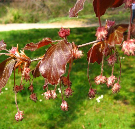 copper-beech-fagus-sylvatica-purpurea-07