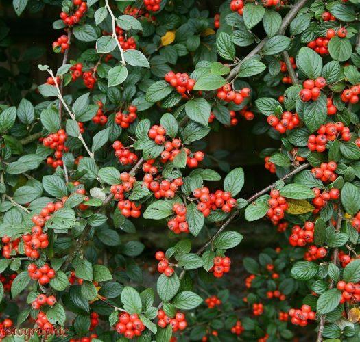 cotoneaster-lucidus-04