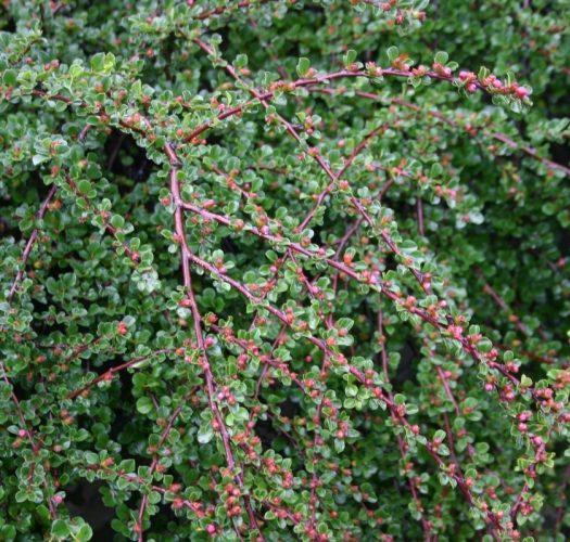cotoneaster-lucidus-05