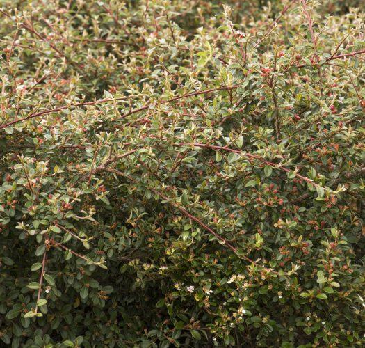 cotoneaster-lucidus-06