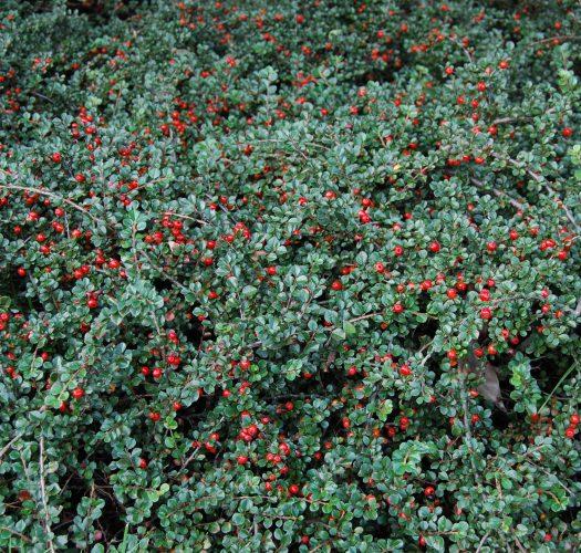 cotoneaster-lucidus-07