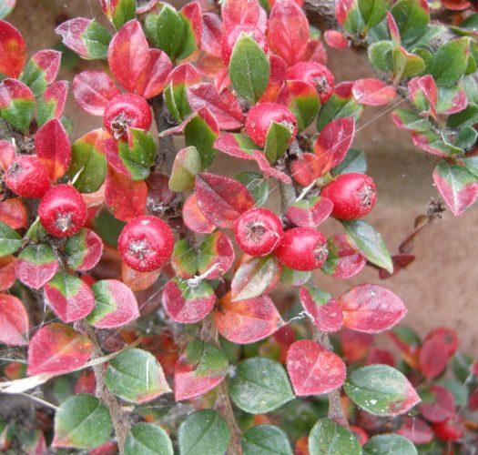 cotoneaster-lucidus-08