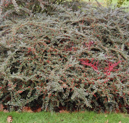 cotoneaster-lucidus-09