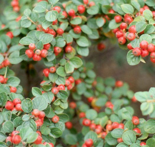 cotoneaster-lucidus-11